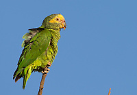 I saw a variety of parrots and parakeets during my visit to western Brazil.
