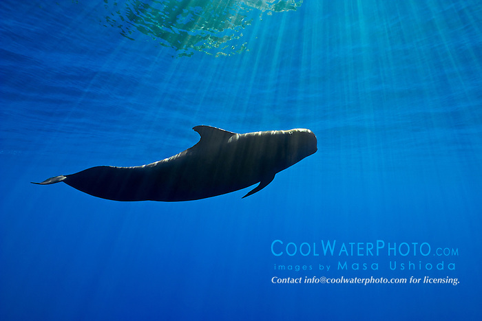 silhouette of short-finned pilot whale, Globicephala macrorhynchus, Kona Coast, Big Island, Hawaii, USA, Pacific Ocean