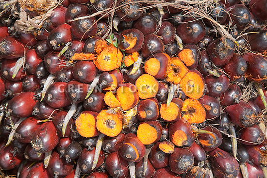 A close-up of an oil palm fresh fruit bunch (FFB) with cut fruits revealing their mature yellow content. The Sindora Palm Oil Mill, owned by Kulim, is green certified by the Roundtable on Sustainable Palm Oil (RSPO) for its environmental, economic, and socially sustainable practices. Johor Bahru, Malaysia
