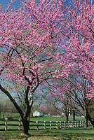 Beautiful blooming redbud trees in spring in the meadow of a horse farm