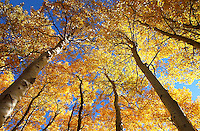 Aspen trees, fall color, June Lake, California.