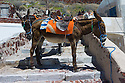 Santorini, Greece. 06.05.2014. Santorini donkeys and mules, in Ammoudi, which is at the foot of the cliffs below the town of Oia at the northern tip of the island. The donkeys carry tourists up and down the steep steps between the villages. Photograph © Jane Hobson.
