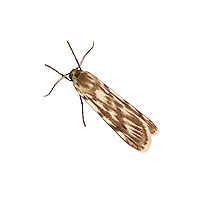 72.032 (2053)<br /> Speckled Footman - Coscinia cribraria