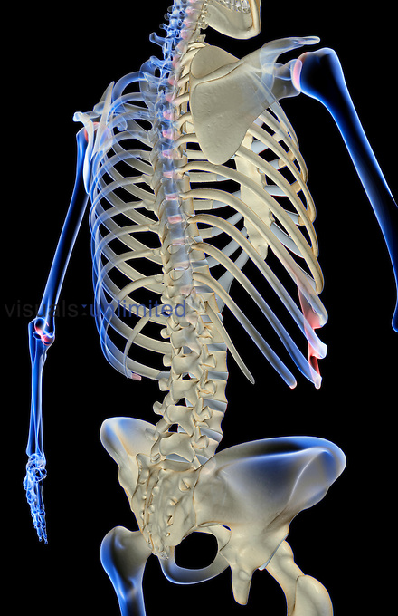 A posterolateral view (right side) of the bones of the trunk. Royalty Free