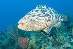 Gardens of the Queen, Cuba; a Goliath Grouper swimming over the coral reef