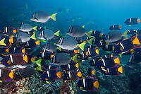 RK0486-D. King Angelfish (Holacanthus passer) and Yellowtailed Surgeonfish (Prionurus laticlavius) swimming together over rocky reef. The angelfish are the purple fish, the surgeonfish (also called Razor Sawtails), and the gray ones. Galapagos Islands, Ecuador, Pacific Ocean.<br /> Photo Copyright &copy; Brandon Cole. All rights reserved worldwide.  www.brandoncole.com