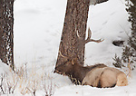 A single bull elk beds down for the evening in the snow underneath a tree in Yellowstone National Park.