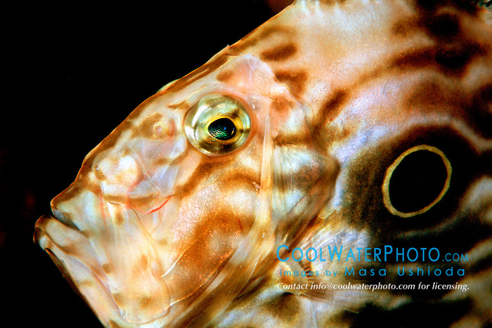 John Dory, Zeus faber, depth range .up to 400 m, note a large ocellated spot .(false eye-spot), Osezaki, Suruga Bay, .Izu Peninsula, Shizuoka, Japan (Pacific).