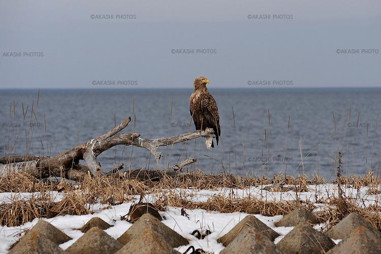 White-tailed sea eagle at Notsuke Peninsula. <br /> <br /> Pygargue à queue blanche de la péninsule de Notsuke.