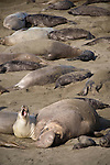 San Simeon, California; a male and female Northern Elephant Seal (Mirounga angustirostris) mating on the sandy beach