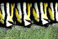 MO10-004g  Monarch Butterfly - feet of the caterpillar holding onto milkweed leaf - Danaus plexippus