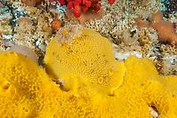 sea lemon, Peltodoris nobilis, feeding on on yellow sponge, Browning Pass, British Columbia, Canada, Pacific Ocean
