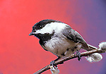 Black-capped chicadee Parus atricapillus songbird song bird