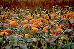 FOOD;  FRUITS AND VEGETABLES THE PUMPKIN PATCH