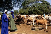 Gambia. Cattle market in the interior of the country; cows feeding from lorry tyres, men haggling, doing a deal.