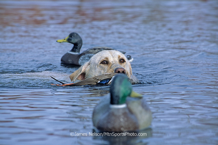 34-536. A yellow Labrador retriever brings a downed mallard to the blind on the Snake River, Idaho.