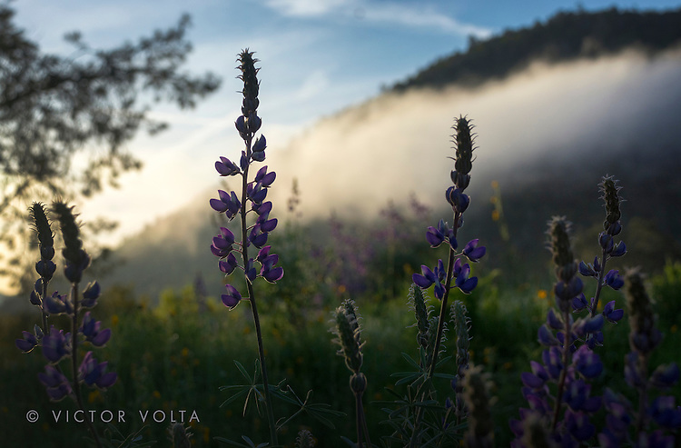 Lupines, Lake Don Pedro
