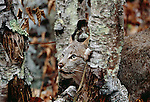 Canada lynx hiding in birch trees, Minnesota, USA