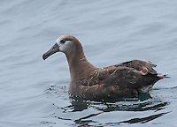Albatrosses, Fulmars, Shearwaters and Petrels