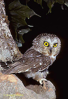 OW02-315a   Saw-whet owl - at nest cavity - Aegolius acadicus