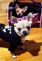 Kevin the chihuahua dog stands in front of a pet carrier in which Leo the dog is sitting.