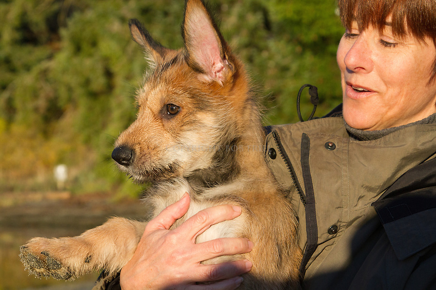 Picardy Shepherd (Berger Picard) puppy, Quinn, at age 10 weeks on Orcas Island, WA