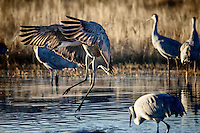 A Sandhill Crane exhibiting a common pre-flight behavior by lifting himself and flapping his wings. Bosque del Apache National Wildlife Refuge.