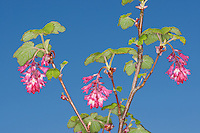 Blut-Johannisbeere, Johannisbeere, Blutjohannisbeere, Ribes sanguineum, Flowering Currant, red-flowering currant