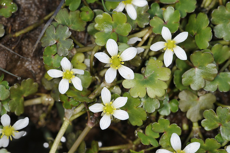 ROUND-LEAVED CROWFOOT Ranunculus omiophyllus (Ranunculaceae) Floating. Creeping annual or biennial. Favours damp, muddy places, often water seepages. FLOWERS are 8-12mm across and comprise 5 white petals, twice as long as sepals (May-Aug). FRUITS are borne in rounded heads. LEAVES are lobed and rounded. STATUS-Rather local and restricted mainly to S and W England and Wales, and S Ireland.