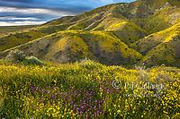Owls Clover, Monolopia, Fiddlenecks, Tremblor Range, Carrizo Plain National Monument, San Luis Obispo County, California