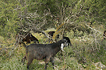 Israel, Lower Galilee. Goats on Tel Yodfat