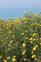 Kronen-Wucherblume, Kronenwucherblume, Wucherblume, Shungiku, Salatchrysantheme, Speisechrysantheme, Salat-Chrysantheme, Speise-Chrysantheme, Chrysantheme, Glebionis coronaria, Chrysanthemum coronarium, Leucanthemum coronarium, garland chrysanthemum, garland-chrysanthemum, chrysanthemum greens, edible chrysanthemum, Crown Daisy, Crown-Daisy, crowndaisy, Chrysanthème couronné, Chrysanthème des jardins, Chrysanthème à couronnes
