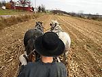 Amish harvest.  Dublin, Ohio.