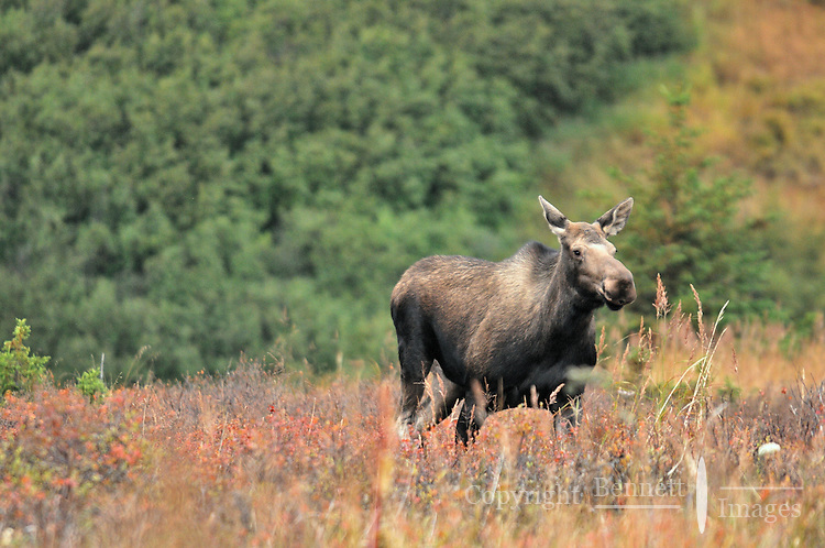 A cow moose avoiding a bull during the fall rut in Chugach State Park.