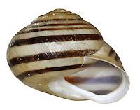 White-lipped Snail - Cepaea hortensis