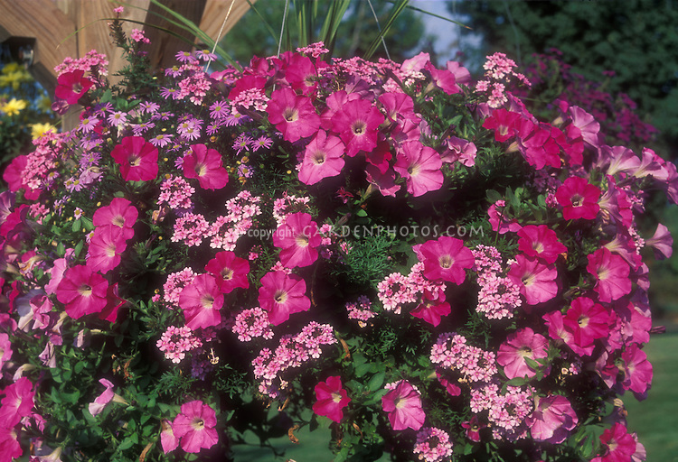 Pink flowers in basket plant flower stock photography petunia verbena and brachyscome in hanging basket pot container in color theme of pink mightylinksfo