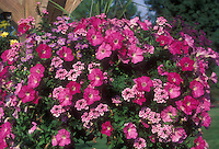Petunia, verbena and brachyscome in hanging basket pot container in color theme of pink