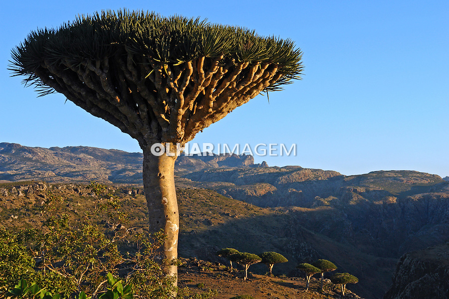 Arvore Dragoeiro ( Dracaena cinnabari). Reserva Homhil. Ilha de Socotra. Yemen. 2008. Foto de Caio Vilela.