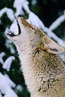 Coyote (Canis latrans) howling.  Western U.S., winter.