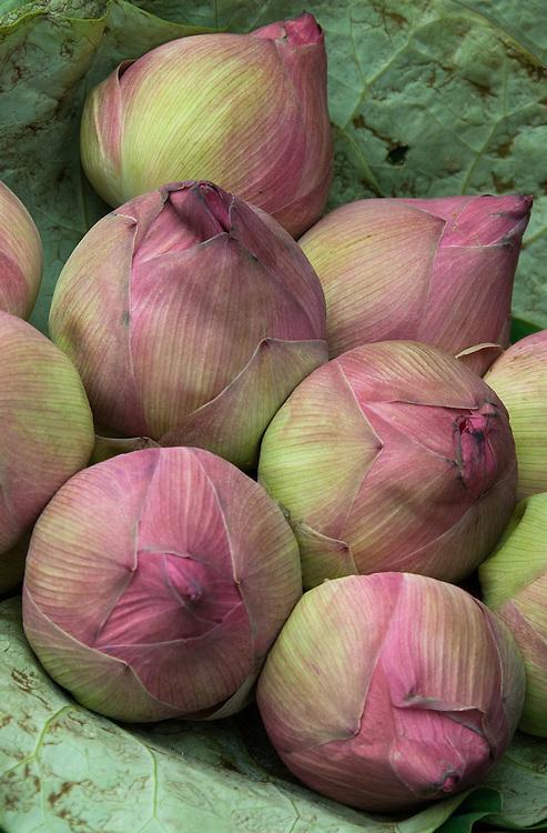 Lotus Buds - Bunch of lotus flower buds.