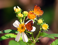 Rounded metalmark, wings closed