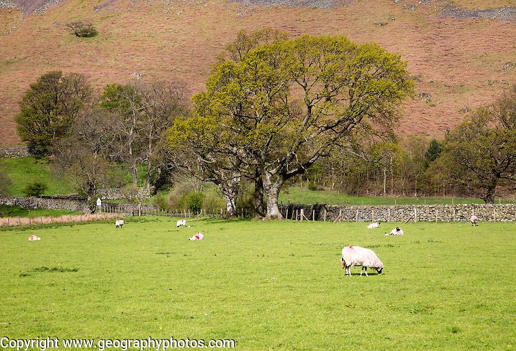 Sheep in fields, Hallin Fell, Howtown, Ullswater, Lake District national park, Cumbria, England, UK