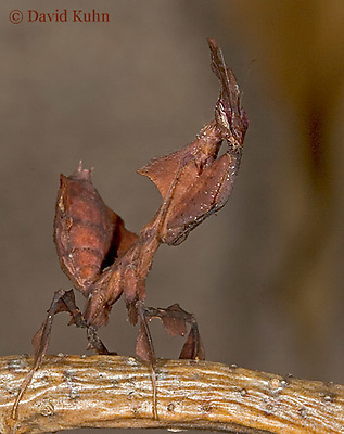 "0314-07ss  Ghost Mantis - Phyllocrania paradoxa ""Female Nymph"" - © David Kuhn/Dwight Kuhn Photography"