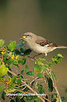 01395-01601 Northern Mockingbird (Mimus polyglottos) eating berry in Anacua tree (Ehretia anacua) Starr Co. TX