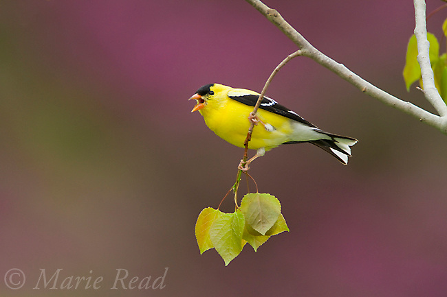 American Goldfinch (Carduelis tristis) male calling, perched on cottonwood branch in spring, New York, USA
