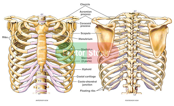 anatomy of the thoracic skeleton (ribcage) | doctor stock, Skeleton