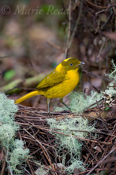 Golden Bowerbird (Prionodura newtoniana), male at its lichen-decorated bower, Atherton Tableland, Queensland, Australia.