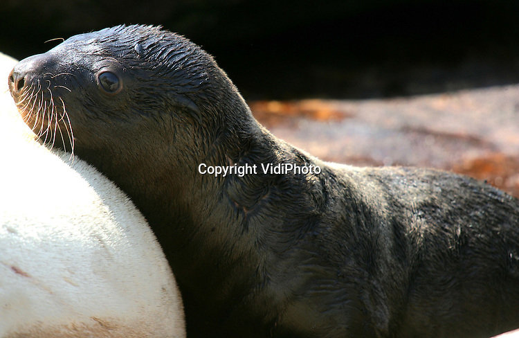 Foto: VidiPhoto..HARDERWIJK - In het Dolfinarium in Harderwijk in vrijdagavond laat een jonge Steller Zeeleeuw geboren. Zaterdag was het diertje, dat de naam Sitka heeft gekregen en waarvan het geslacht nog niet bekend is, voor het eerst voor het publiek te zien. Er zijn maar weinig parken met Steller Zeeleeuwen, vandaar dat iedere geboorte een bijzondere gebeurtenis is. Moeder (Sade) en kind (20 kilo) maken het goed.