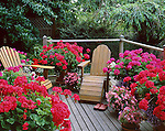 Vashon Island, WA<br /> Outside deck with adirondack chairs nestled among large clay pots of flowering geraniums, begonias and allysum