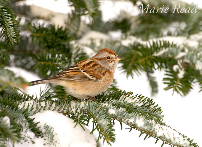 American Tree Sparrow (Spizella arborea) perched on a snowy conifer branch in winter, New York, USA